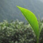 bourgeon et feuilles terminales du théier