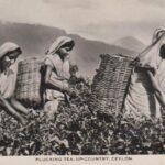 récolte du thé à Ceylan