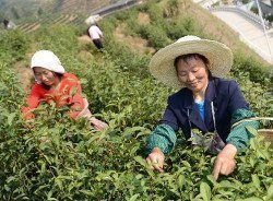cueillette tea harvest-250