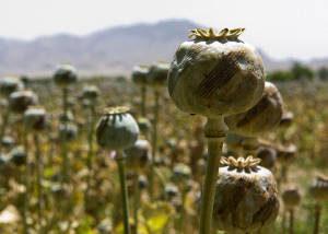 Champ d'opium au Pakistan