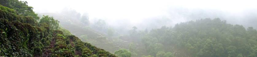 champs de thés à Long Jing