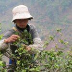 cueillette du thé au Sri Lanka