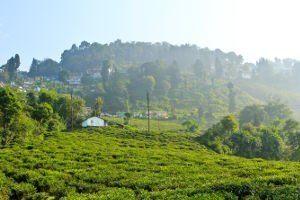 makaibari jardins darjeeling