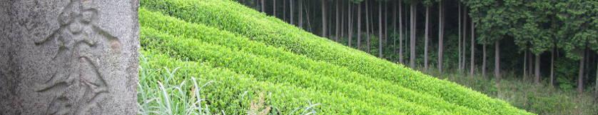 Bouddhisme et plantation de thé au Japon