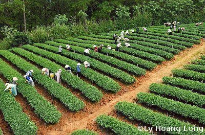 plantation the vietnam-LHL-400X264