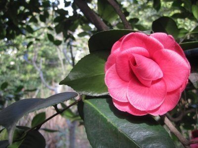 Camellia Hybride - MARGHARITA COLEONI