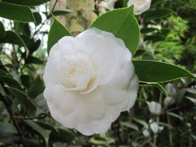 Camellia Japonica - IL CYGNO