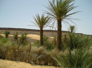 La palmeraie d'Azougui