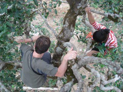 Escalade dans une arbre à thé