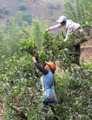 Cueilleuses dans un arbre à thé - Yunnan