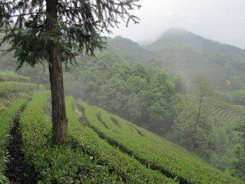 Plantation de Long Jing