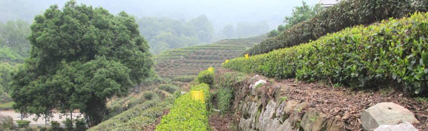 thé vert Lonj Jing dans la province du Zhejiang à quelques minutes de la ville de Hangzhou