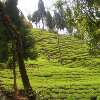 plantation népal