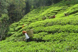 Aarubotay tea garden