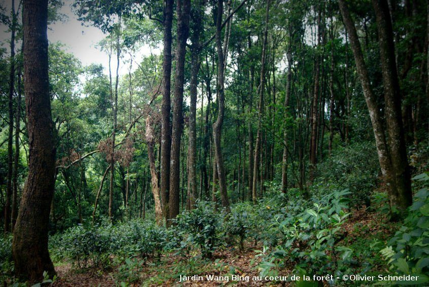 Théiers en pleine forêt à Yiwu