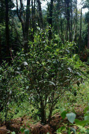 Yiwu théier en pleine forêt