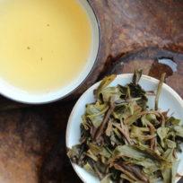infusions de feuilles de thé puerh, théiers sauvages