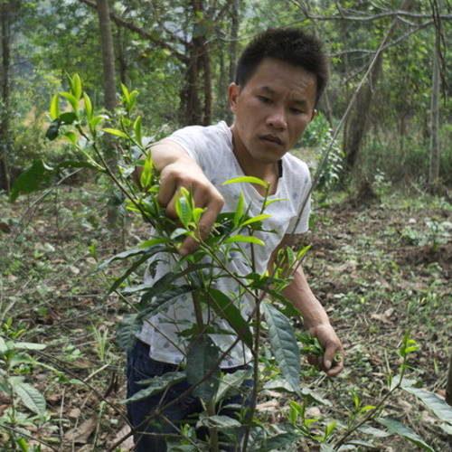 arbres sauvages théiers