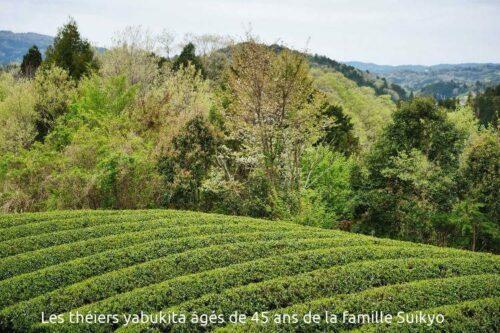 théies yabukita, plantations agées de 45 ans