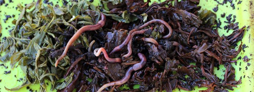 lombricompost avec des vers de terre