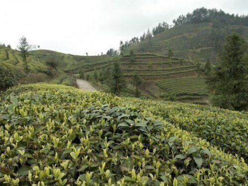 Plantaion agriculture biologique thé Hubei