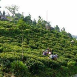 plantations du jardin de Singell à