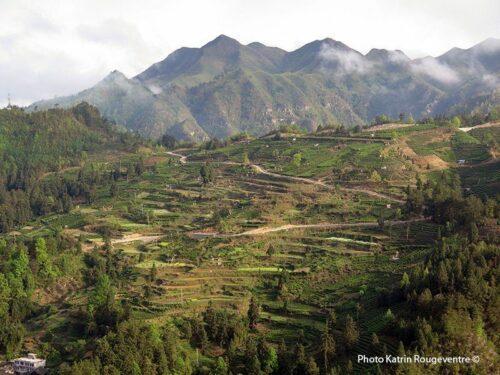 Théiers de Yingshan dan sle Guizhou