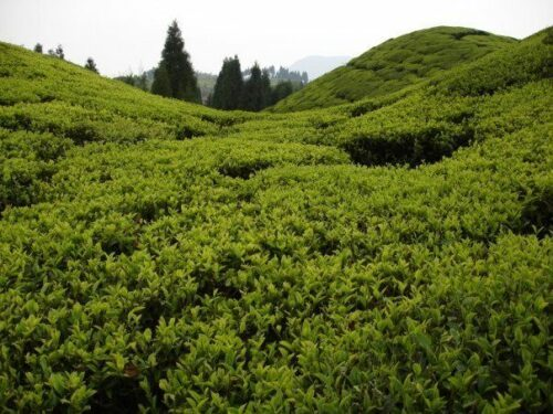 Tea bushes in Rohini Tea Garden In Darjeeling