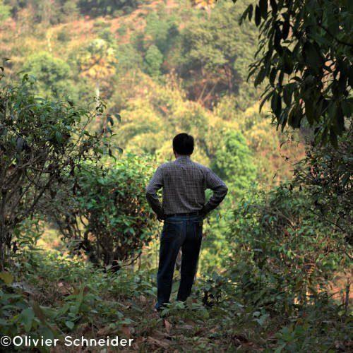 Lao Lee dans ses champs de vieux théiers